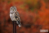 Barred Owl KH2356