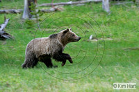 Grizzly Bear KHD008589