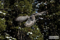 Great Gray Owl KH7519