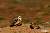 Burrowing Owls KHD000634