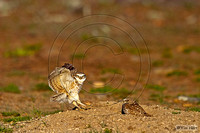 Burrowing owls KHD000628