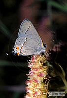 Grey Hairstreak Butterfly KH11-60