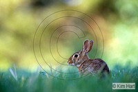Eastern Cottontail Rabbit KH21-96