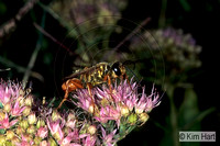 Great Golden Digger Wasp KH11-29