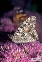 Painted Lady Butterfly KH11-51