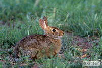 Eastern Cottontail Rabbit KH21-73